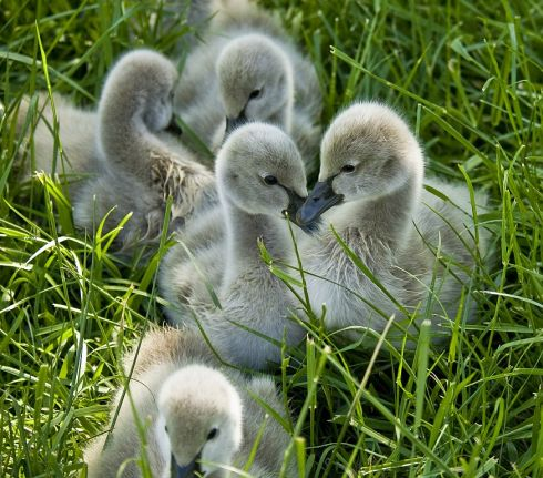 Black swan cygnets